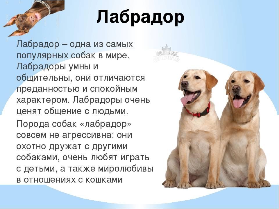 Ханаанская собака – история малоизвестной породы, уход и содержание (+ фото)