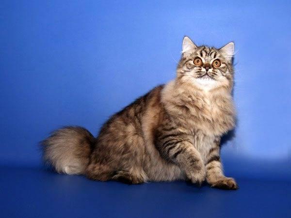 Виды шотландских кошек - фолд и страйт, в чем разница?