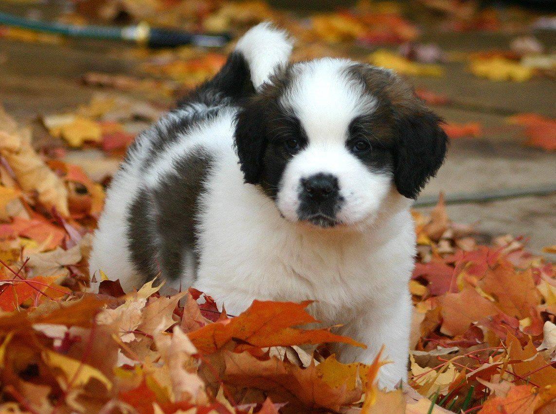 Порода собаки из фильма бетховен - сенбернар, фото и описание