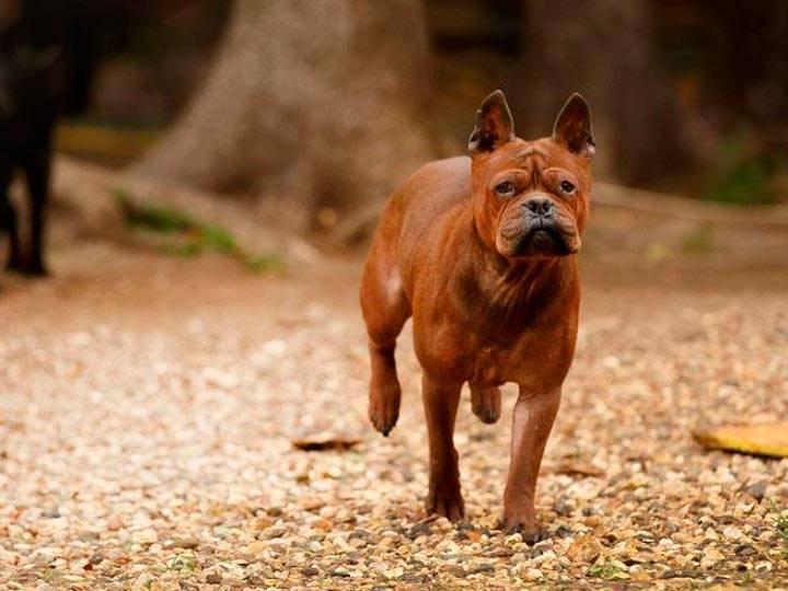 Собака чунцин или китайский бульдог: описание породы и стоимость щенка