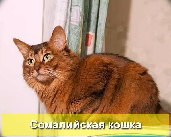 Сомали (кошка)