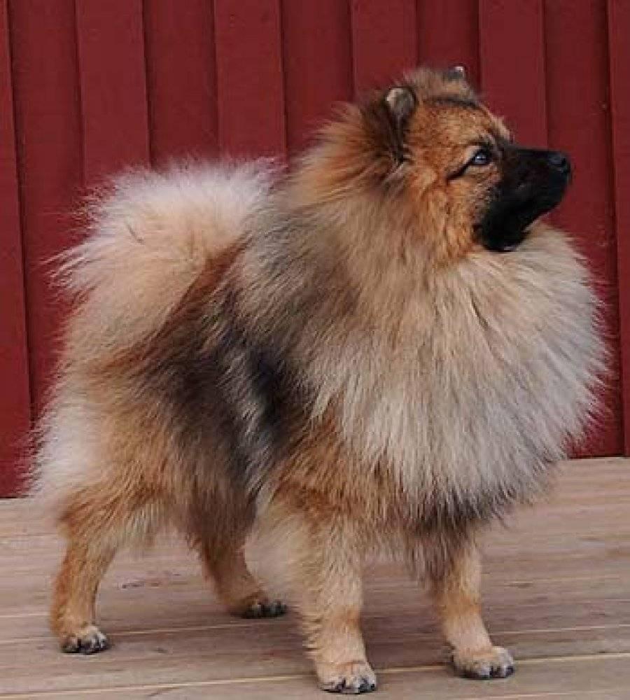 Немецкий шпиц – фото, виды, описание, стандарт породы, цена щенка