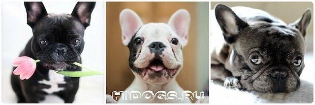 Собака, похожая на мопса (фото): американский ло-ши, чихуапс, бостон-терьер, пекинес, французский бульдог, японский хин и другие