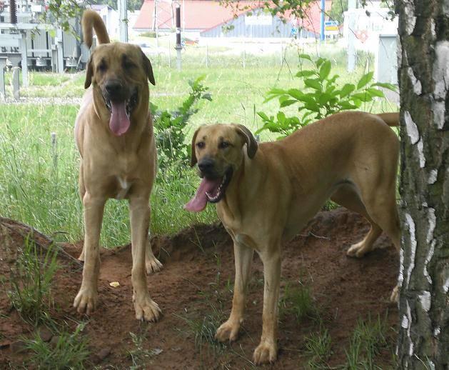 Миниатюрный бультерьер собака. описание, особенности, уход и цена породы