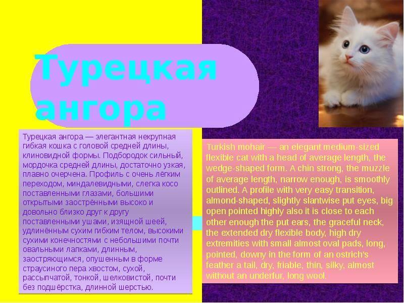 Турецкая ангора - фото и описание породы кошек (характер, уход и кормление)