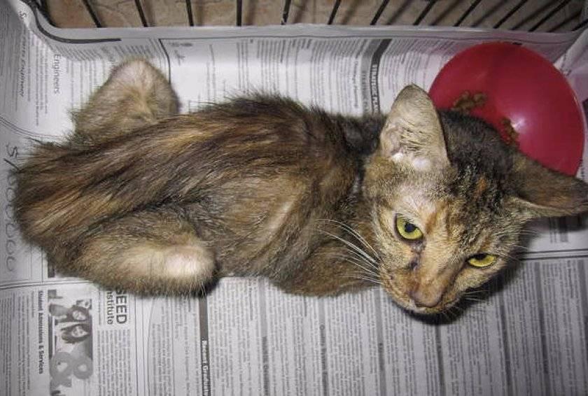 Рвота у кота. 11 самых вероятных причин и их лечение