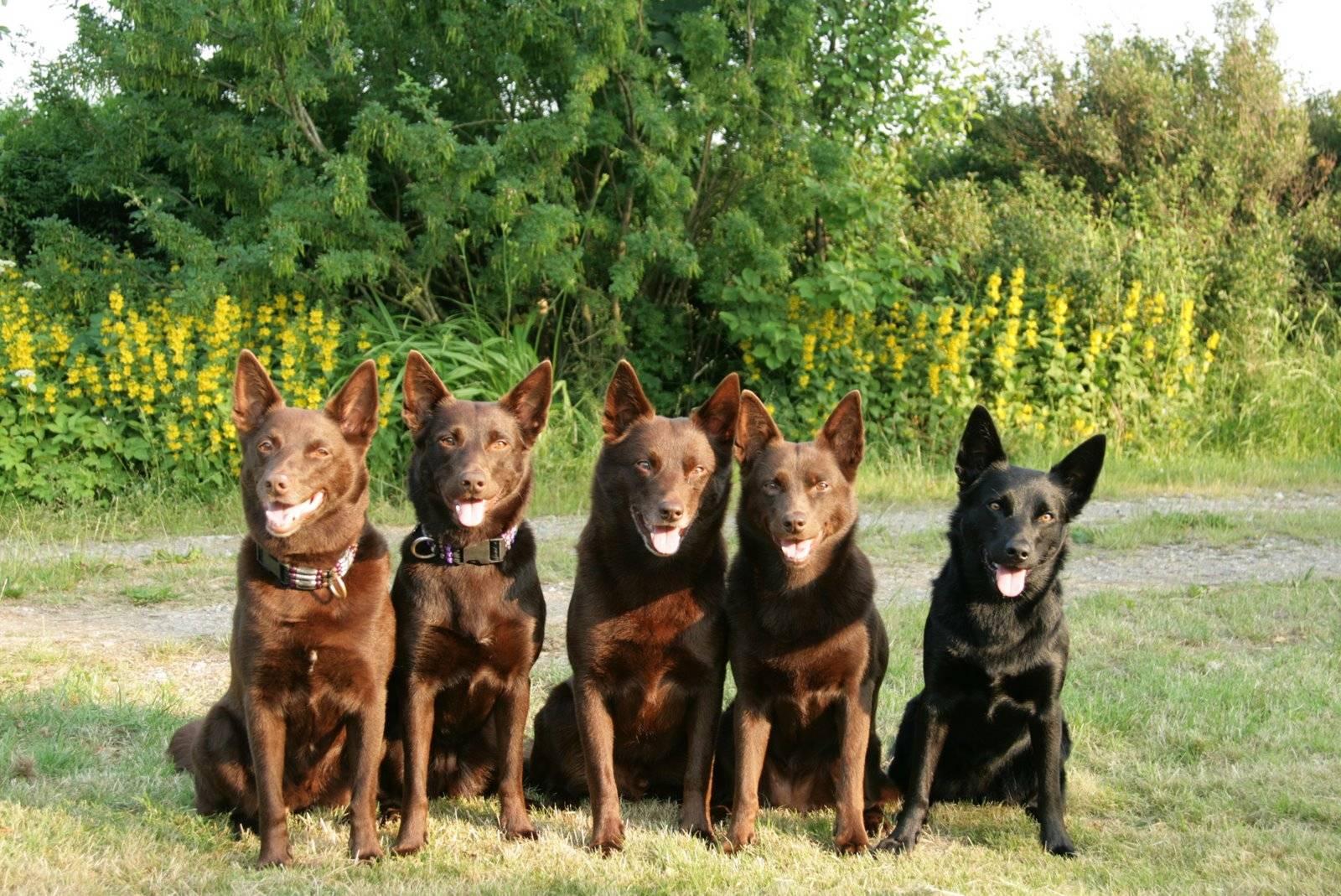 Австралийский келпи – фото собаки, описание породы, цена щенков