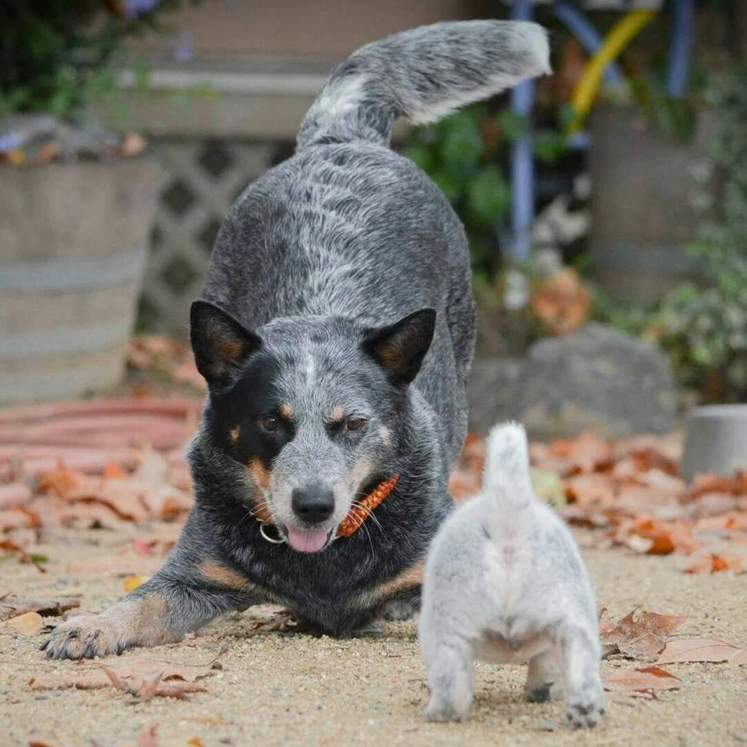 Австралийский хилер (пастушья собака) — отличный сторож и компаньон