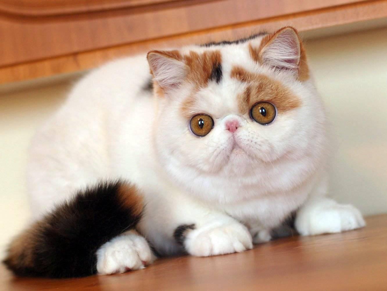 Фото кошек с большими глазами с названиями и описанием