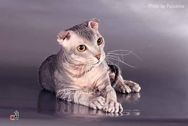 Особенности ухода и содержания лысых кошек