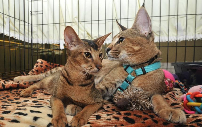 Самые дорогие кошки: топ 10, как выбрать котенка