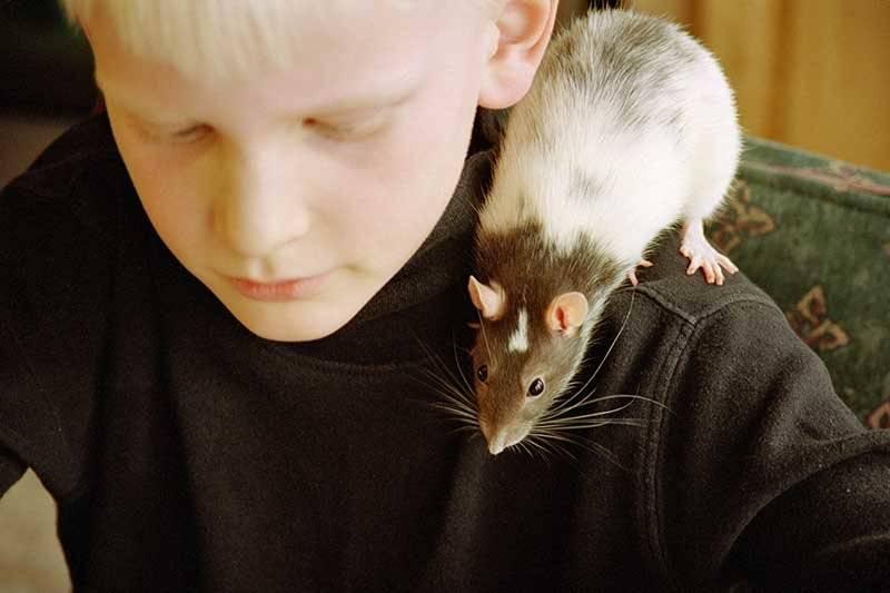 Что нужно знать, если вы решили завести крысу? брестчанка елена уже 7 лет держит дома декоративных крыс