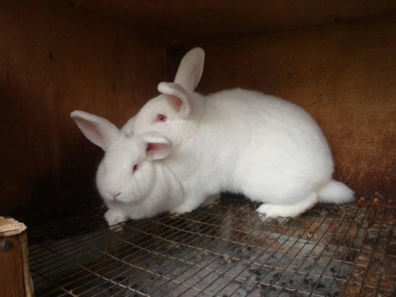 Новозеландский белый кролик — описание породы нзб