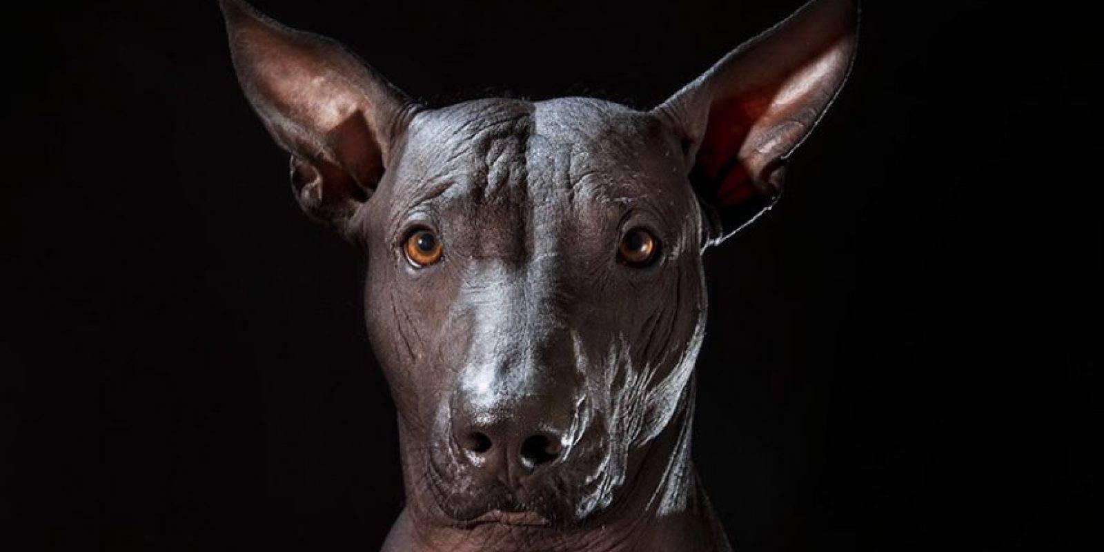 Ксолоитцкуинтли - характер, дрессировка и необходимый уход для собаки (120 фото)