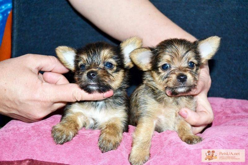 Чихуахуа: описание породы, характер собаки и щенка, фото, цена