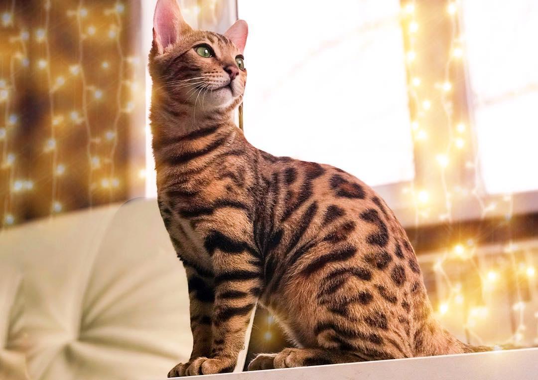 Все о бенгальских кошках и котах