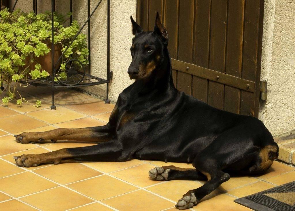 Самые опасные и агрессивные породы собак – топ-10