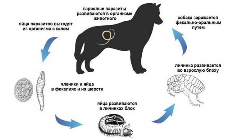 Дирофиляриоз у собак - симптомы, лечение, профилактика | евровет
