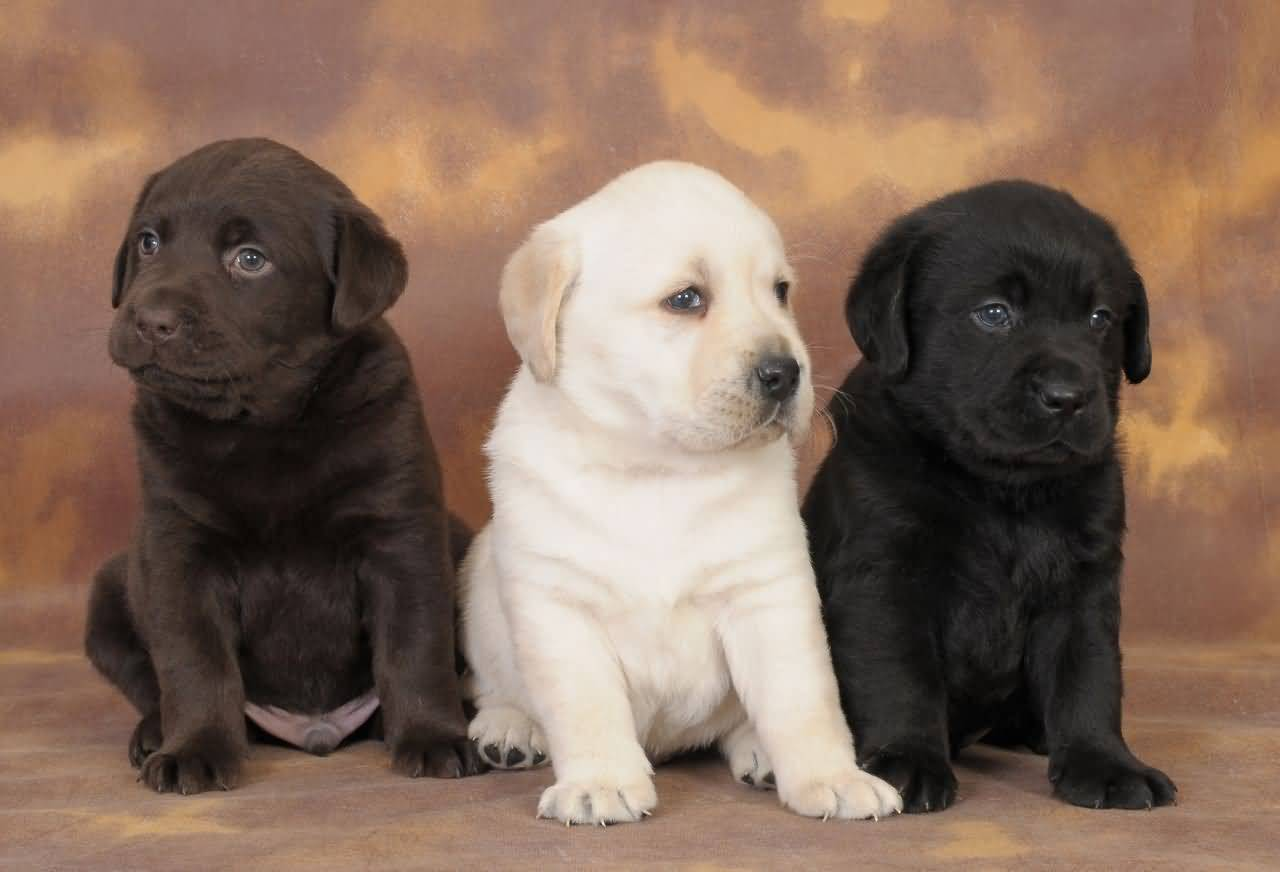 Клички для собаки девочки лабрадора