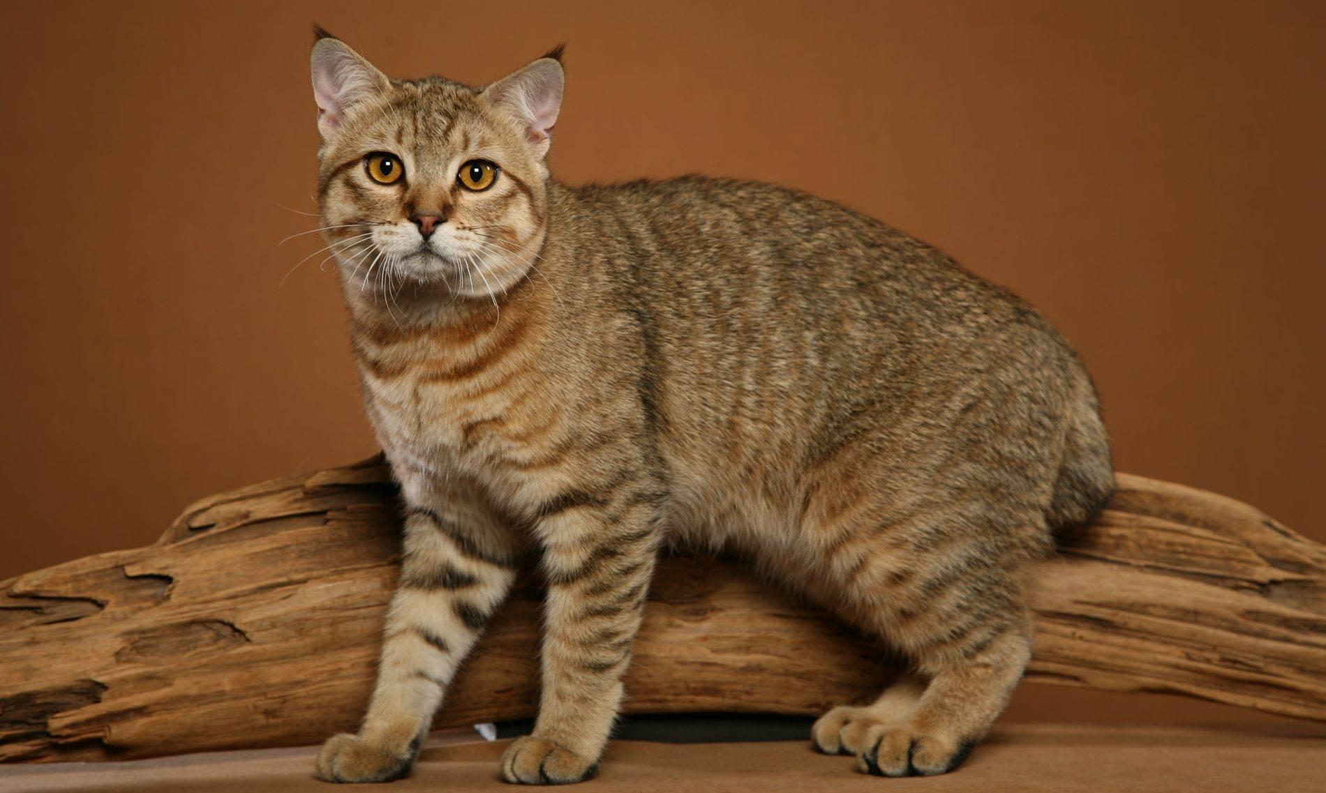Пиксибоб: особенности и история породы, характер и уход за кошкой, фото, отзывы владельцев, выбор котенка