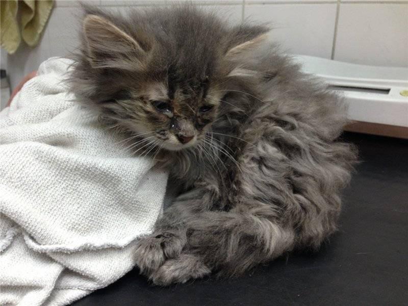 Вирусный ринотрахеит у кошек симптомы и лечение в домашних условиях