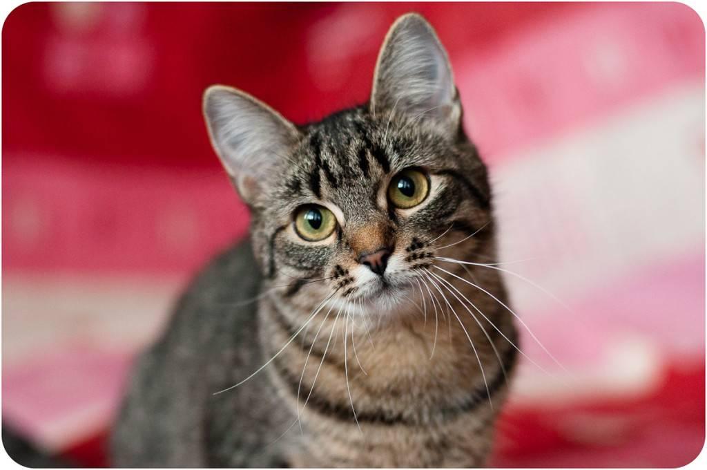 Кельтская короткошерстная и европейская кошка - фото, цена, где купить