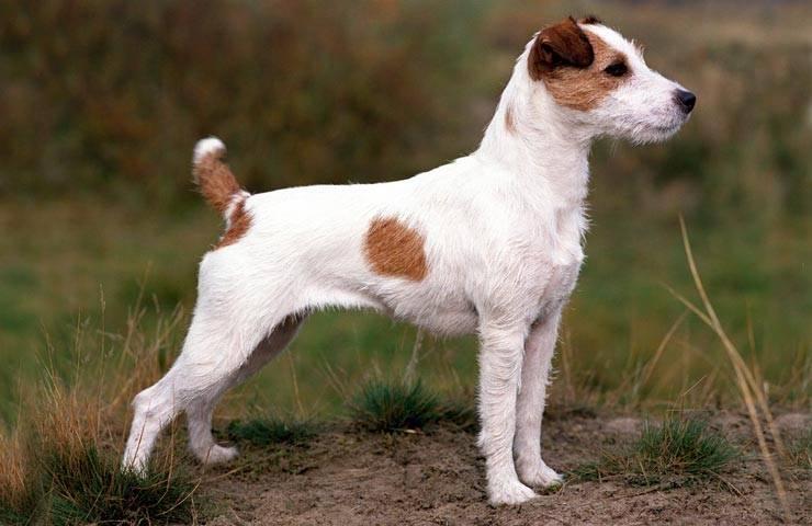 Джек-рассел-терьер: всё о собаке, характеристика и описание породы