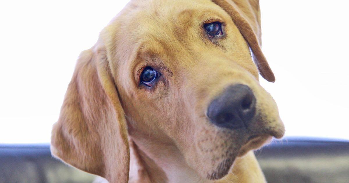 Зачем собаки наклоняют голову, когда слушают хозяина - gafki.ru