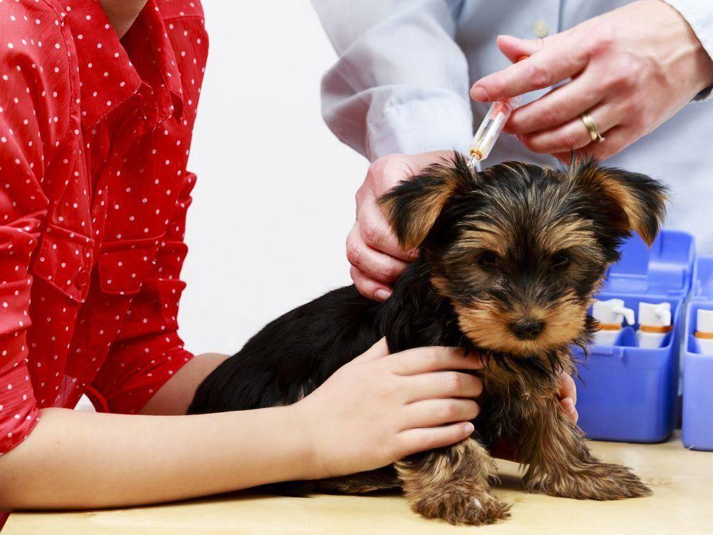 Йоркширский терьер: уход и питание, список необходимых предметов, как ухаживать за шерстью, как стричь когти и когда чистить зубы