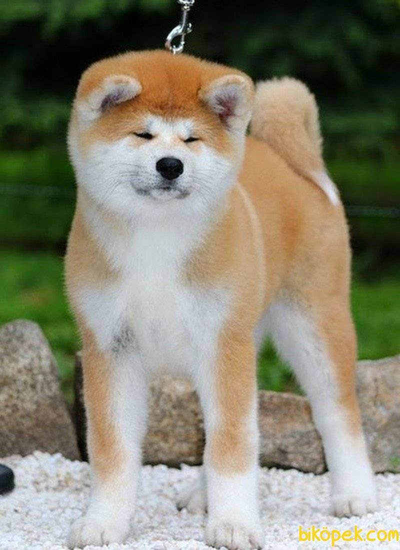 """Японские породы собак: 6 чистокровных пород   блог ветклиники """"беланта"""""""