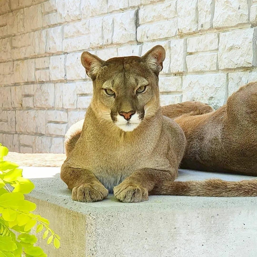 Пума (кугуар, горный лев): фото, видео, цена, описание животного