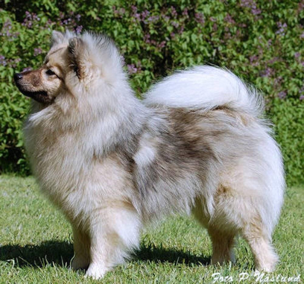 Немецкий малый шпиц (кляйншпиц) собака: фото, цена, характер
