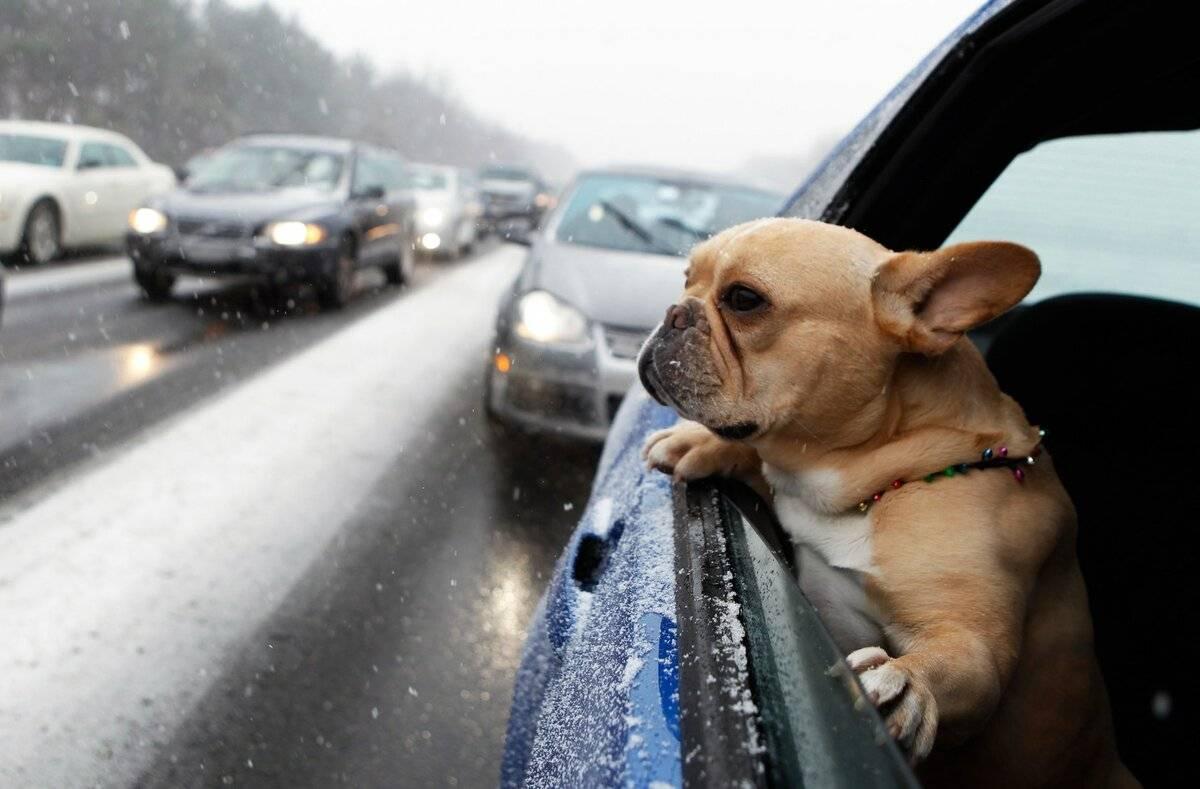 Что делать если собаку укачивает в машине?
