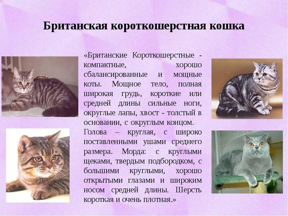 Анатолийская кошка (турецкая короткошерстная )