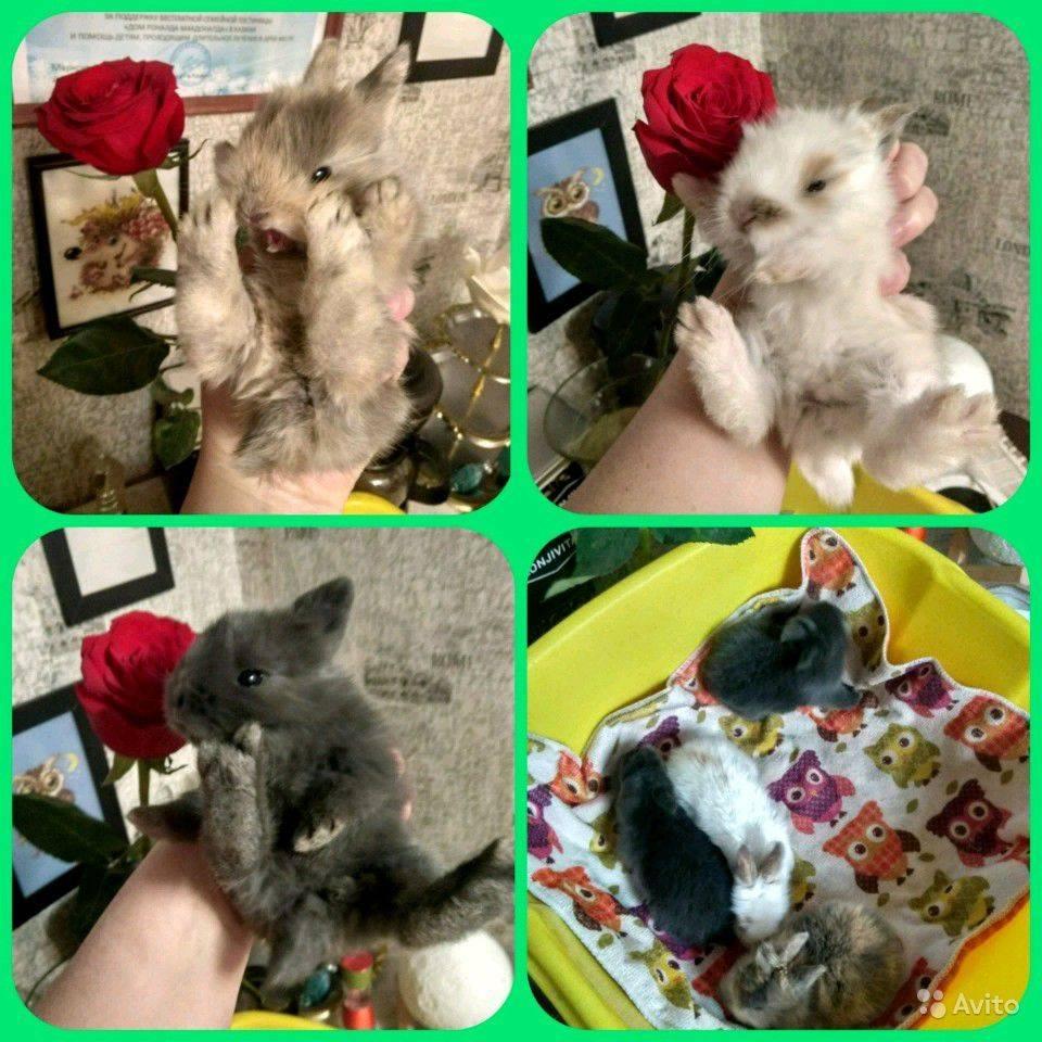 С какого возраста делают кастрацию декоративных кроликов: процесс стерилизации