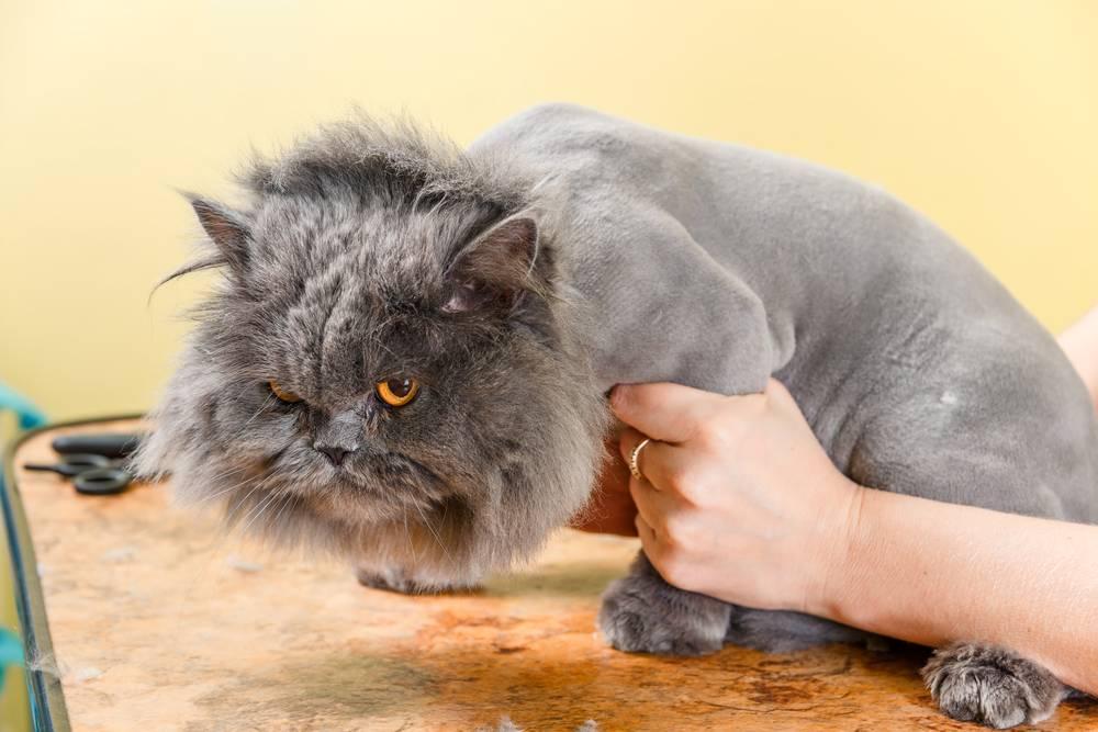 Как подстригать кошку дома правильно? груминг на дому- советы +фото и видео