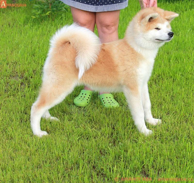Акита-ину и сиба-ину отличия двух пород собак, различия внешнего вида, характера, ухода, стоимость
