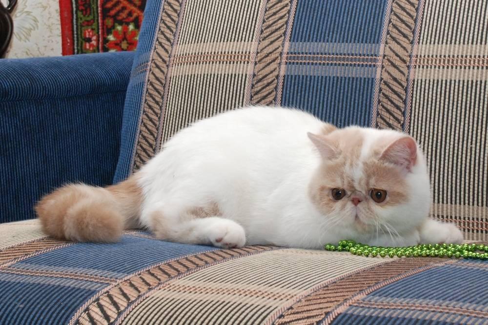 Все про особенности экзотической короткошерстной кошки породы экзот