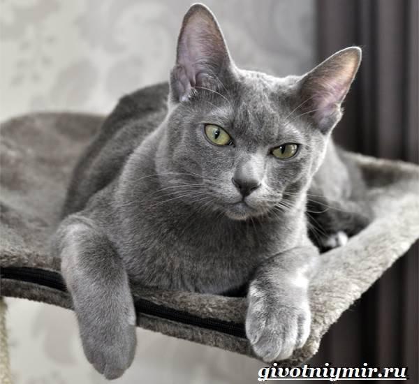 Кошка корат: описание, характер, чем отличается от русской голубой, где купить