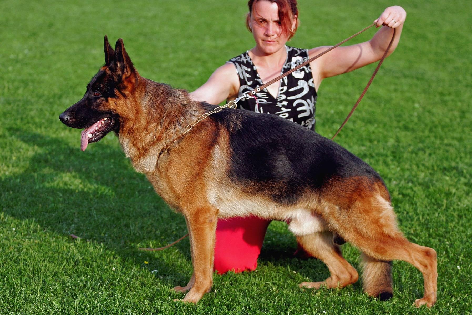 Дрессировка и обучение немецкой овчарки — все собаки тут