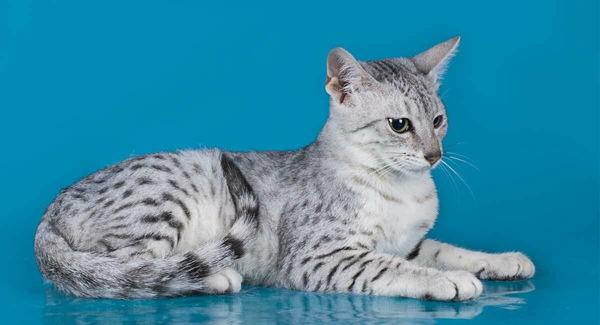 Египетская мау: от уличной кошки до элитной породы