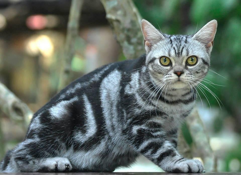 Американские короткошерстные кошки: описание породы, характер, здоровье