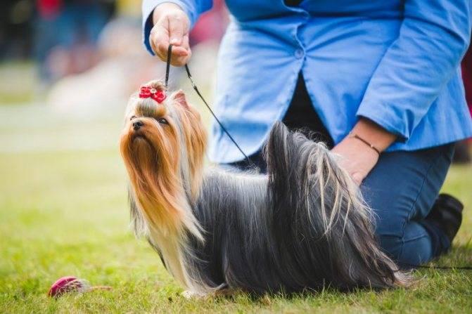 Разновидности поводков для собак, советы по приучению, руководство по изготовлению