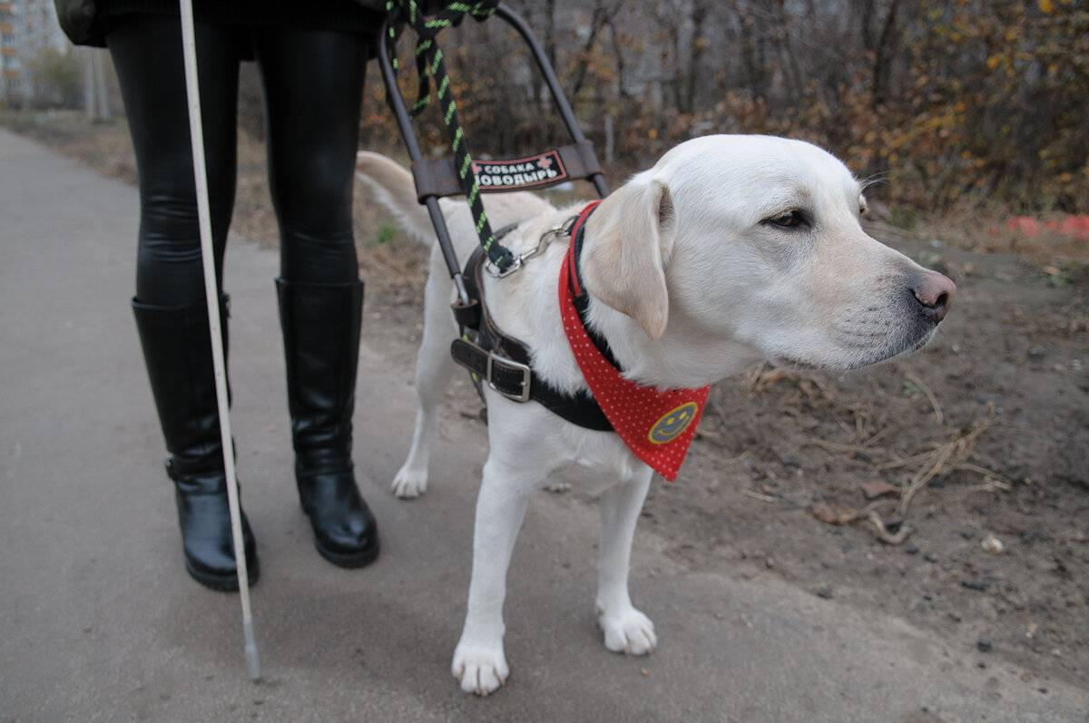 Собаки-поводыри – история, требования, обучение, подходящие породы