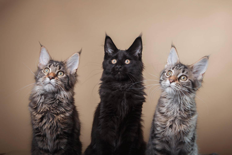 Мейн-кун порода кошек: фото, описание, характер, окрасы, отзывы