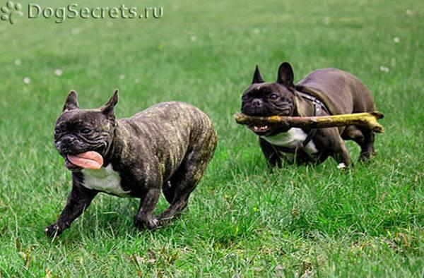 Что нужно знать при выборе французского бульдога: как воспитать собаку, а также особенности ухода и содержания