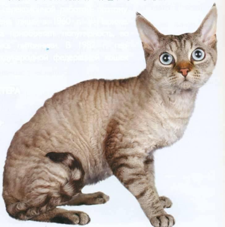 Редкая порода кошек — герман рекс