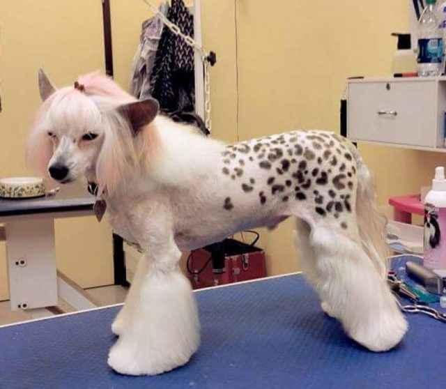 Китайская хохлатая собака - описание породы с отзывами, фото и видео