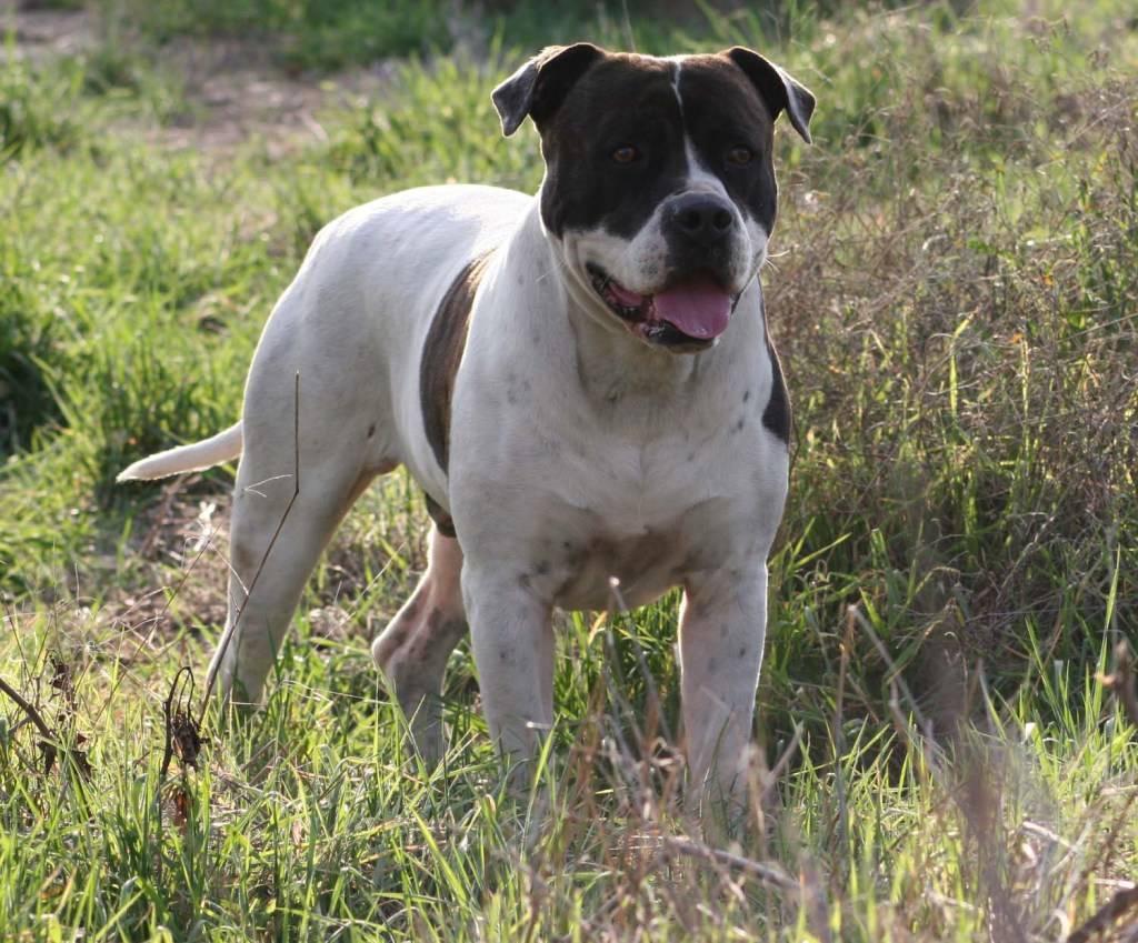 Кангал (турецкая овчарка): фото, характер собаки, уход и цена
