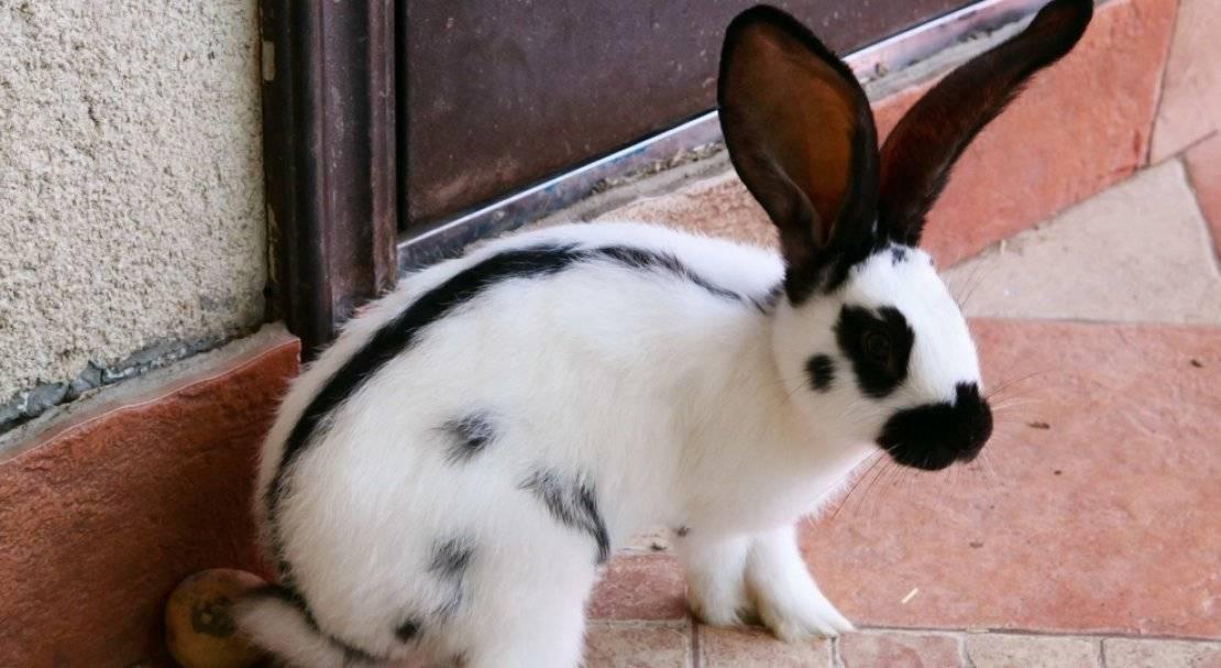 Кролик немецкий, пестрый строкач и его разведение